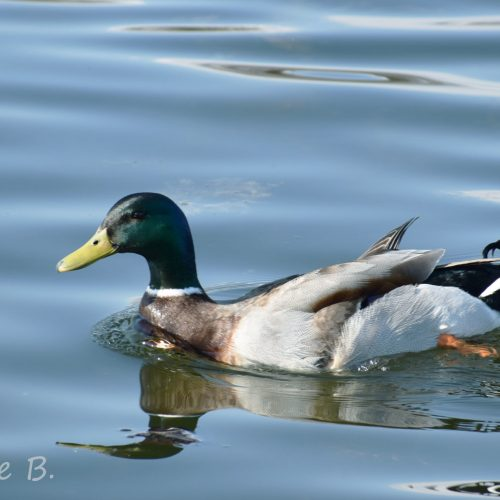 Mallard—Photo Credit: Charlie Bourdo