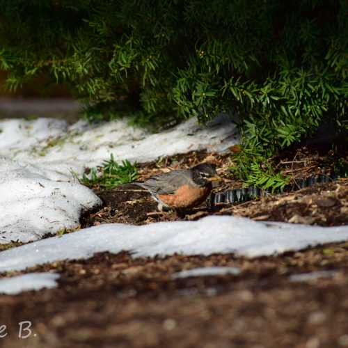 Robin in the snow—Photo Credit: Charlie Bourdo