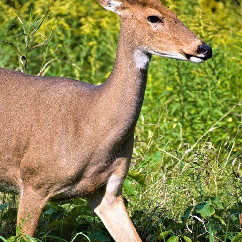 Deer Friend - Courtesy of Charlie Bourdo